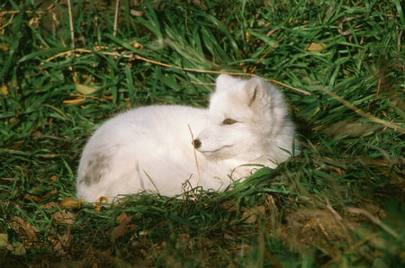 engaging: Engaging Summer Portrait Of An Arctic Fox