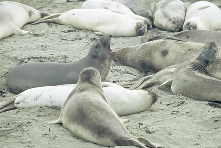 Northern elephant seals interacting on a sandy beach, at the Point Piedras Blancas Wildlife Sanctuary in San Simeon, California
