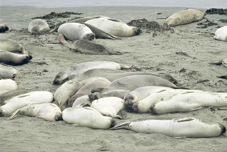 slumbering: Colony of northern elephant seals slumbering on a Pacific seashore, at the Point Piedras Blancas Wildlife Sanctuary in San Simeon, California