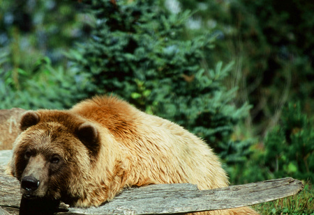 Summer closeup of an Alaskan brown bear, at the Minnesota Zoo.