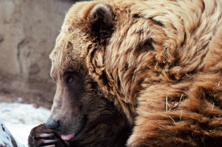 alaskan bear: Portrait of a resting Alaskan brown bear at the Minnesota Zoo. Stock Photo