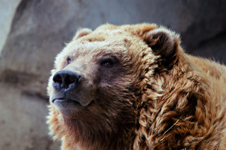 Alaskan brown bear in an attentive postion, at the Minnesota Zoo.