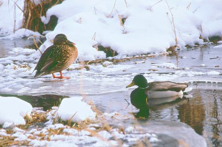 frozen creek: Hen and drake mallard quietly resting on a partially frozen creek. Stock Photo