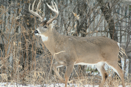 whitetail: Large whitetail deer buck standing on frozen snow covered ground.