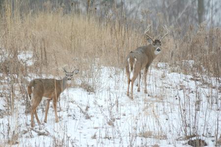 whitetail: Whitetail Bucks Standing In A Winter Marsh