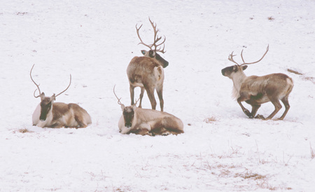 occupying: Woodland Caribou Occupying A Snow Covered Landscape. Stock Photo