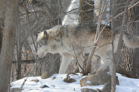 timber wolf: Winter Wandering Timber Wolf