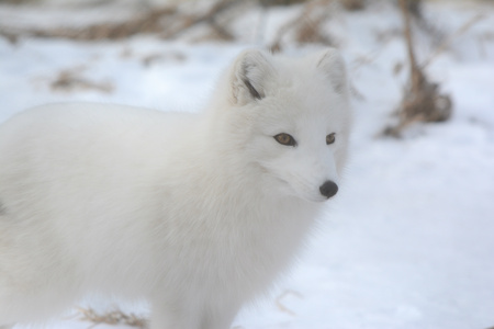 engaging: Engaging Winter Vista Of An Attentive Arctic Fox Standing On Snow. Stock Photo