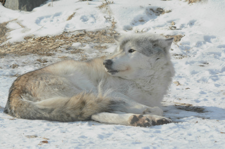 Awakening timber wolf laying down on a bright frozen landscape.