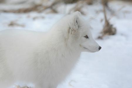 Serene portrait of an arctic fox standing in snow covered landscape. Banco de Imagens