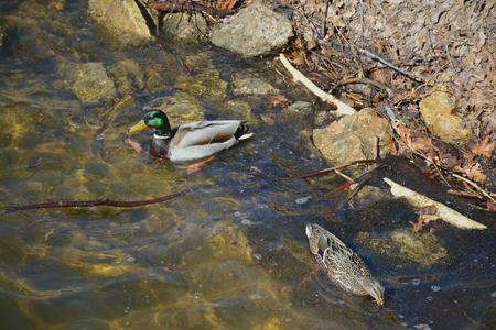cluttered: Mallard ducks swimming near a cluttered riverbank. Stock Photo