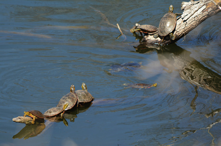 sunning: Spring scene of several painted turtles sunning on logs in a pond.