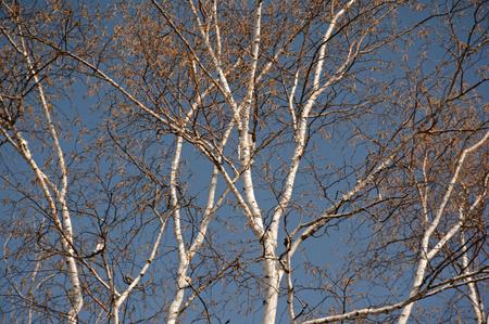 早春の白樺の木。 写真素材