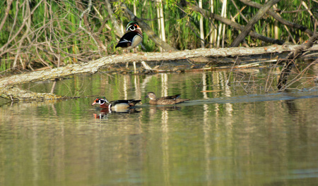 freshwater: Three wood ducks visiting a freshwater pond in spring. Stock Photo