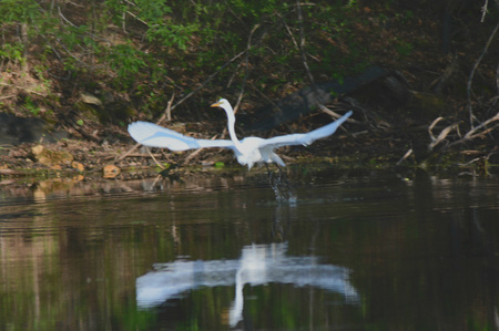 shorelines: A great egret lifting off from a freshwater pond.