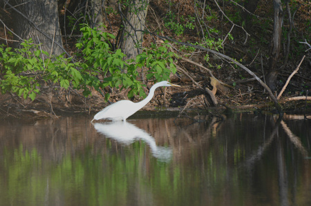 stalking: An egret slowly stalking prey along the edge of a pond.