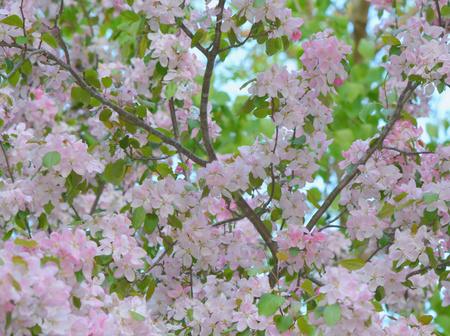 Shaded twilight view of pink flowering crabapple tree.