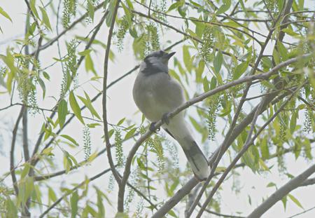 green jay: Aspecto Primavera de un arrendajo azul posado en las ramas pequeñas. Foto de archivo