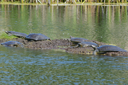 Several soft shell turtles basking on a mud flat.