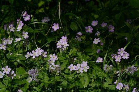 Spring aspect on a patch of lavender wild geraniums. Banco de Imagens