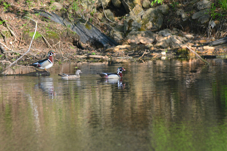 drakes: Spring vista on three wood ducks idling on a pond.