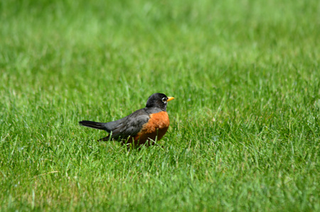 緑豊かな緑の草にまだ座っているロビンの春の景色。 写真素材 - 43850110