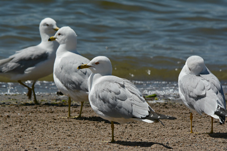 several: Several ring-billed seagulls on a sandy lakeshore. Stock Photo