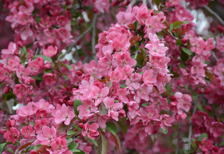 Spring photo of lush pink flowering crab blossoms.