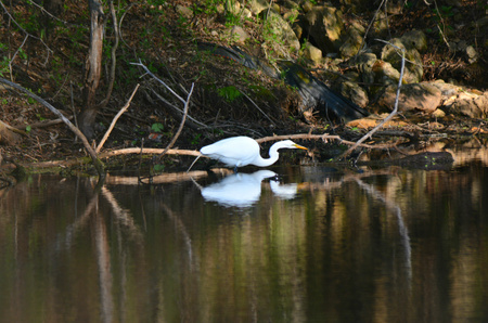 stalking: Egret stalking prey along the edge of a shaded pond. Stock Photo
