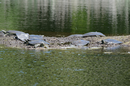 assembled: Soft shell turtles assembled along mud flat in a pond. Stock Photo