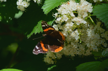 admiral: Red admiral butterfly feeding on white blossoms. Stock Photo