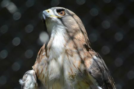 Arresting portrait of a captive redtail hawk.