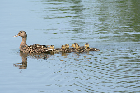 freshwater: Mallard duck family swimming in a freshwater pond.