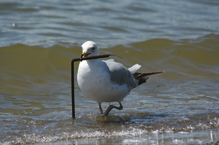 wading: Seagull holding a long object while wading in a lake.