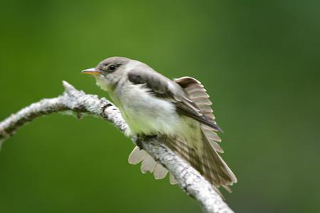 Resting flycatcher fluttering its wings.
