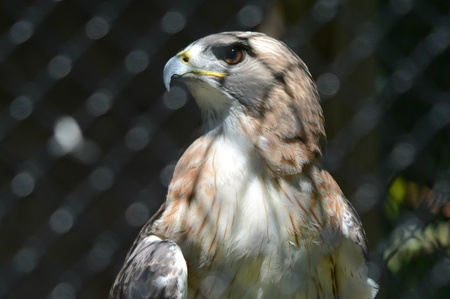 redtail: Compelling cameo of a captive redtail hawk.