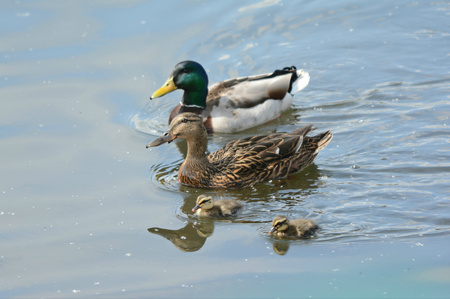 freshwater: Family of mallards swimming in a freshwater pond. Stock Photo