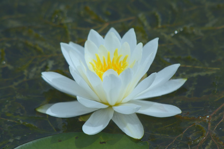 Portrait of a blossoming white water lily.
