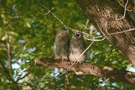 Quaint capture of two barred owlets sitting on a limb.