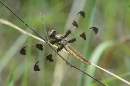 skimmer: Twelve-spotted skimmer dragonfly resting on stem.