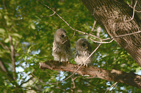 barred: Engaging view of two barred owlets sitting on a limb. Stock Photo