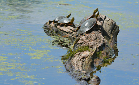 several: Several painted turtles sunning on a stump in a pond.