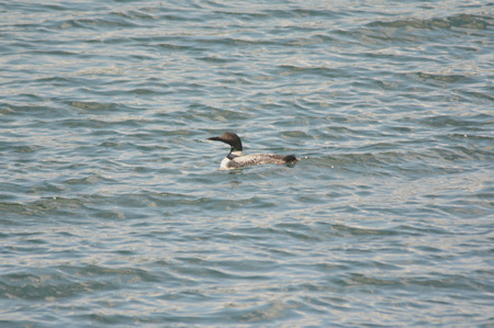 unsettled: Lone common loon swimming in an unsettled lake.