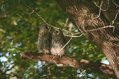 limb: Two curious barred owlets sitting on a tree limb.