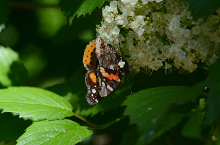 Red admiral butterfly alighted on white blossoms.