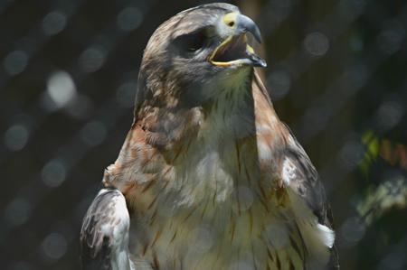 Portrait of a captive vocalizing redtail hawk. Imagens