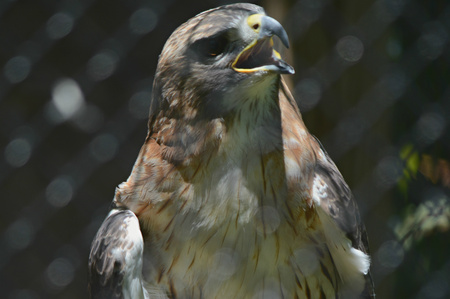 redtail: Portrait of a captive vocalizing redtail hawk. Stock Photo