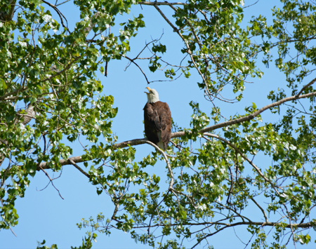 animal limb: Adult bald eagle in spring, perched on a long tree limb.