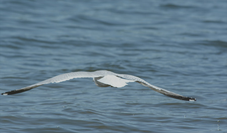 water wings: Seagull with wide spread wings flying over open water. Stock Photo