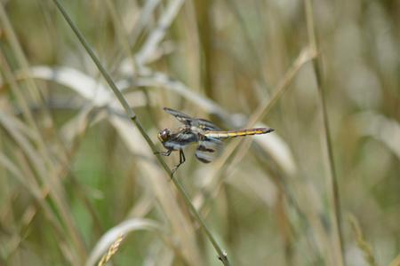 skimmer: Skimmer dragonfly species resting on a grass stem. Stock Photo